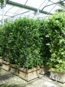 Rhyncospermum Jasminoides Column