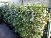 Rhyncospermum Jasminoides Espalier