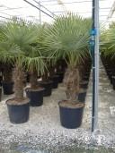 Trachycarpus Fort  50l