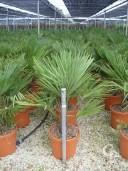Trachycarpus Fortunei   1,00   20l