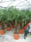 Trachycarpus Fortunei  1,25  LV26