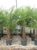 Trachycarpus Fortunei  1,75  50l
