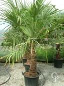 Trachycarpus Fortunei  50l