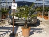 Trachycarpus Fortunei  LV16 50-60cm