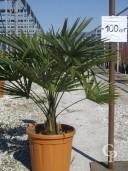 Trachycarpus Fortunei  LV22 60-80cm