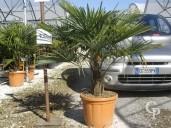 Trachycarpus Fortunei  LV36 100-125cm