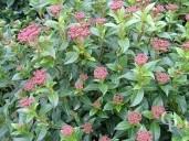 Viburnum Tinus 'Eva Price'   Flower