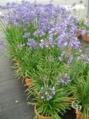 Agapanthus 'Tom Thumb'    12L