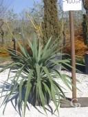 Yucca Gloriosa  C10