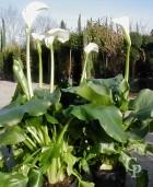 Zantedeschia Aethiopica   4 5l
