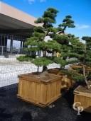 Pinus Bonsi