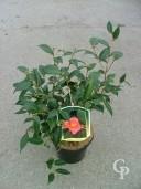 Camellia 'Cornish Spring'   7 5l