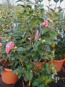 Camellia 'Mrs Tingley'   15l