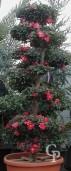 Camellia Bonsai1