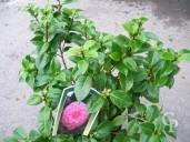 Camellia Jap 'Mrs Tingley' 1,25