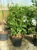Camellia Japonica 25l