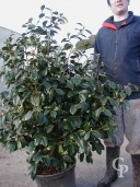 Camellia Japonice 25l