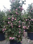 Camellia Sasanguea   1,75  50l