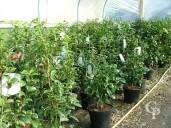 Camellia Variety 15l