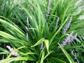 Liriope Muscari 'Big Blue' 5L