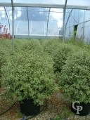 Pittosporum Agrophyllum 110 Wide