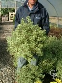 Pittosporum Agrophyllum   5l