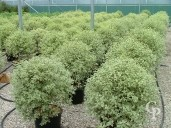 Pittosporum Agrophyllum 20l