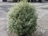 Pittosporum Agrophyllum  1,10  50l