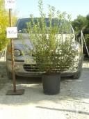 Pittosporum Heterophyllum  100-125cm 25l