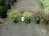 Pittosporum  5l
