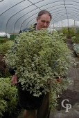 Pittosporum Agrophyllum   35l
