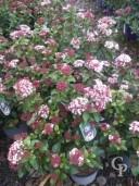 Viburnum Tinus 'Lisa Rose' 5Ltr