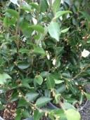Camellia 'Transnokoensis'