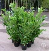 Prunus Laurocerasus 'Rotundifolia' 5Ltr