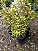 Eleagnus Ebbingeii 'Gilt Edge'