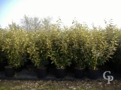Eleagnus Ebbingeii 'Lime Light'