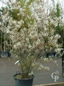 Amelanchier Canadensis Multi-Stem  70L