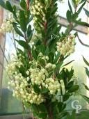 Arbutus Unedo Flower