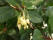 Arbutus Unedo Foliage