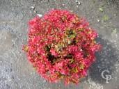 Azalea Japonica Full Flower