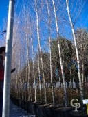 Betula 'Alba' Feathered 4,50 Mtr