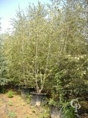 Betula 'Alba'  Multi Stem 5,00mtr Plus