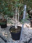 Betula Jacquemontii    3-3,50 Multi-Stem  50l