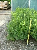Buxus  Sempervirens   30-40