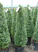 Buxus Cone  1,00