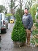 Buxus Egyptian Pyramid