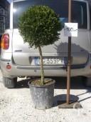 Buxus Rotund  C20 40-45cm