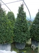 Buxus Sempervirens    2,00 Cone