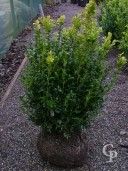 Buxus Sempervirens   40-50 Rb