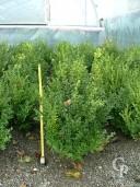 Buxus Sempervirens   40-50